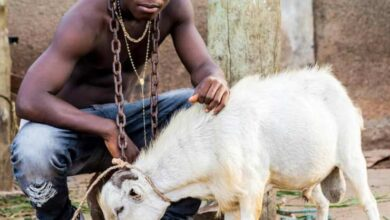 Photo of Ay Poyoo – Goat (Aponkye)
